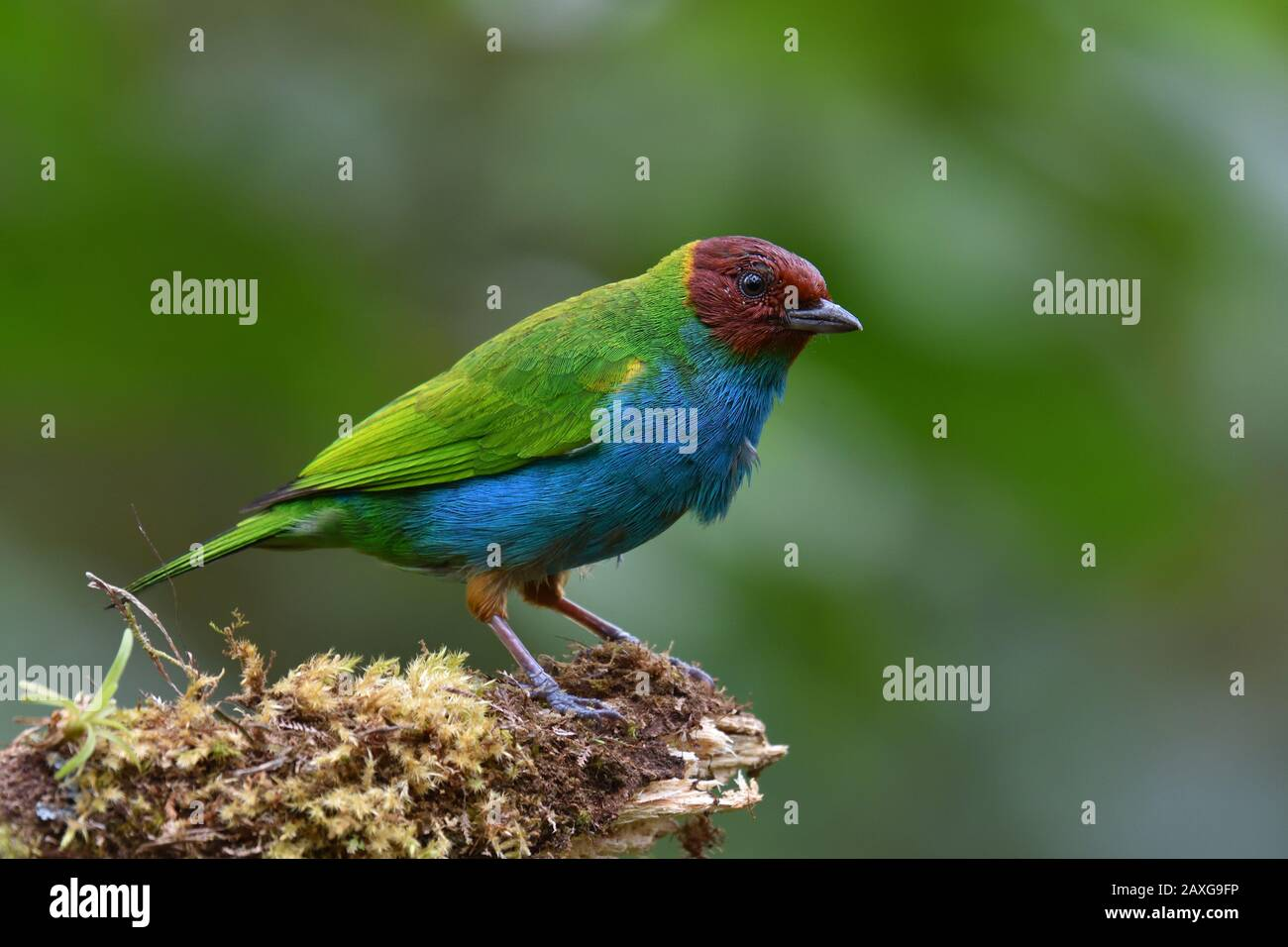 A Bay headed Tanager in Costa Rica rain forest Stock Photo