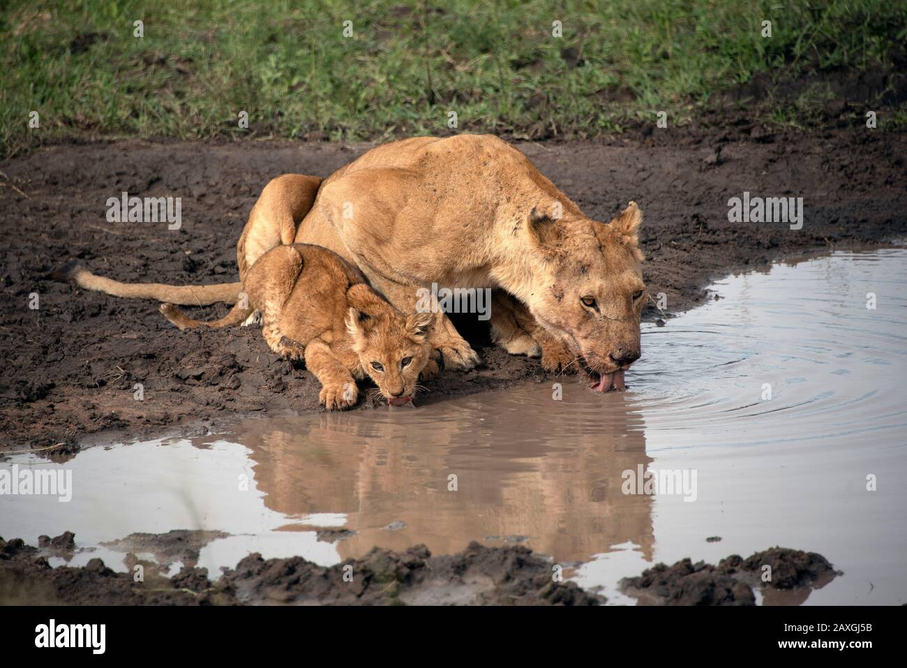 Lioness and cub drinking at he pond. Stock Photo