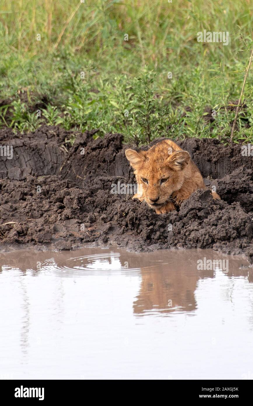 Lion cub looking at his reflection in the pond Stock Photo