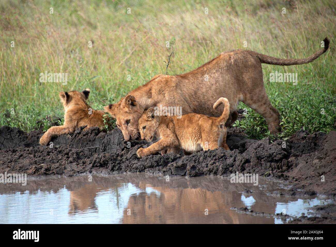 Lioness and cubs ready for some play time. Stock Photo