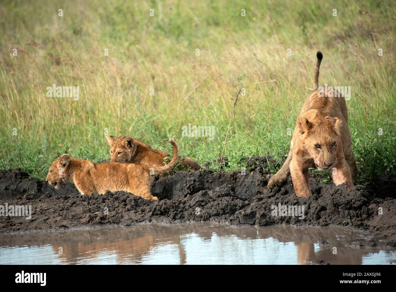 Lioness and cubs off for a wash. Stock Photo
