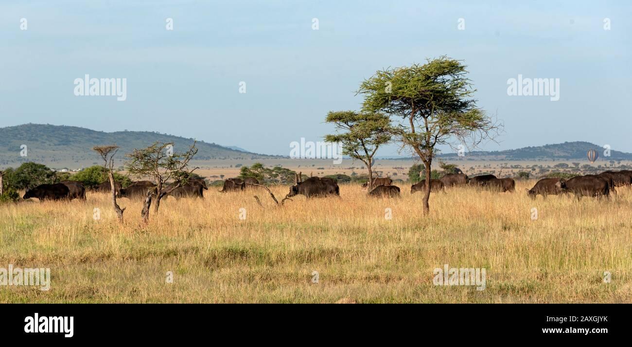 African Buffalo herd, one of the big 5 of safari Stock Photo