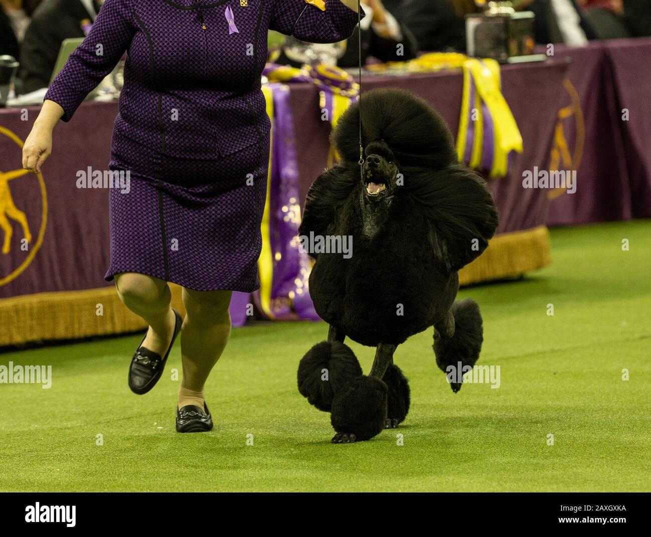 westminster dog show 2020 winner