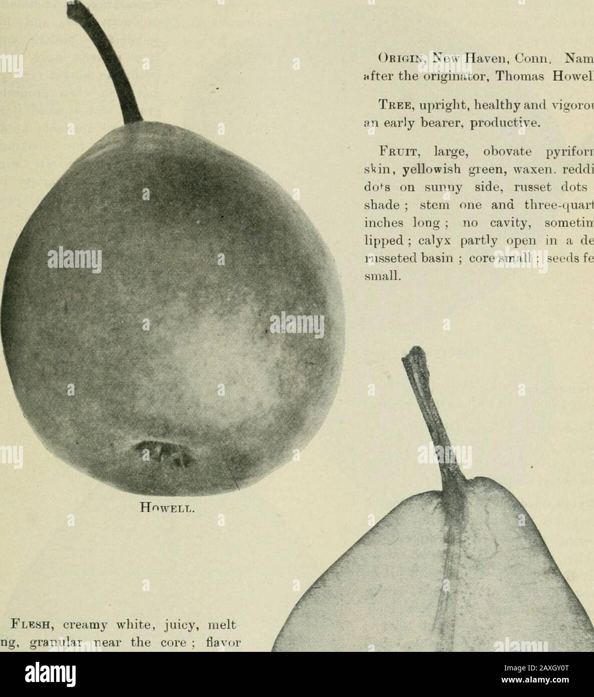 Ontario Sessional Papers, 1898-99, No.18-25 . ias been of late so subject toscab and cracking of the fruit,that it has lost favor withgrowers, notwithstanding itsexcellent quality. ORIGIN, discovered by Van-Mons about the year 1810 inEastern Flanders, and distribu-ted among his friends. Tree, first class in hardiness ;  J&k^ Section of Flemish Beauty. 64 62 Victoria. Sessional Papers (No. 21). A.1899 HOWELL. One of the best market pears of its season for southern Ontario, especially where grown ona standard. Its vigor of tree, regularity of bearing, clear skin, and good size and quality makei Stock Photo
