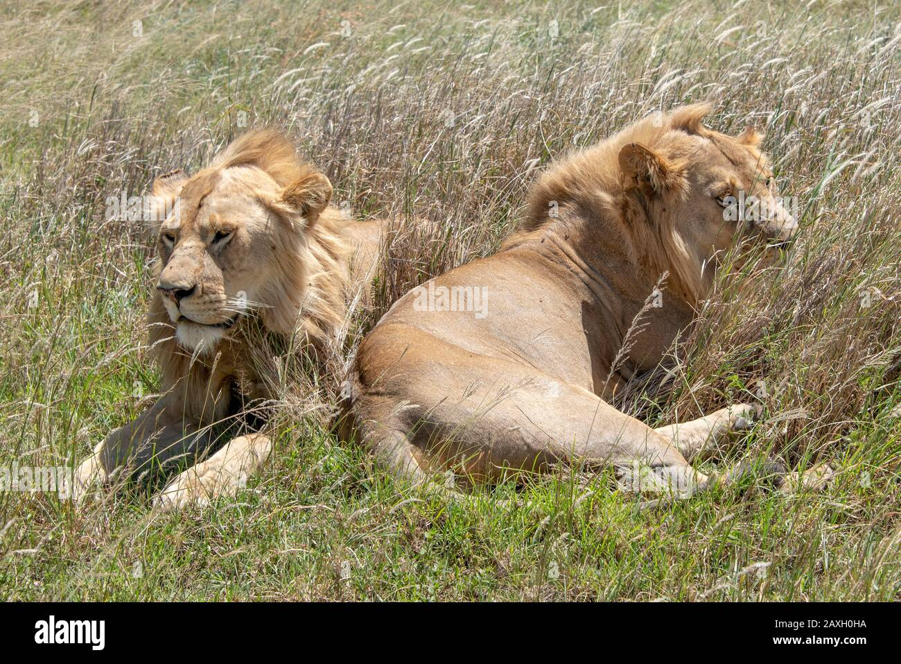 This handsome pair of young male Lions were happily resting in the midday sun. Stock Photo