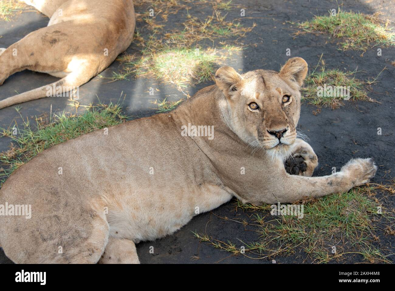 Lioness checking out the safari vehicle and occupants providing her shade. Stock Photo