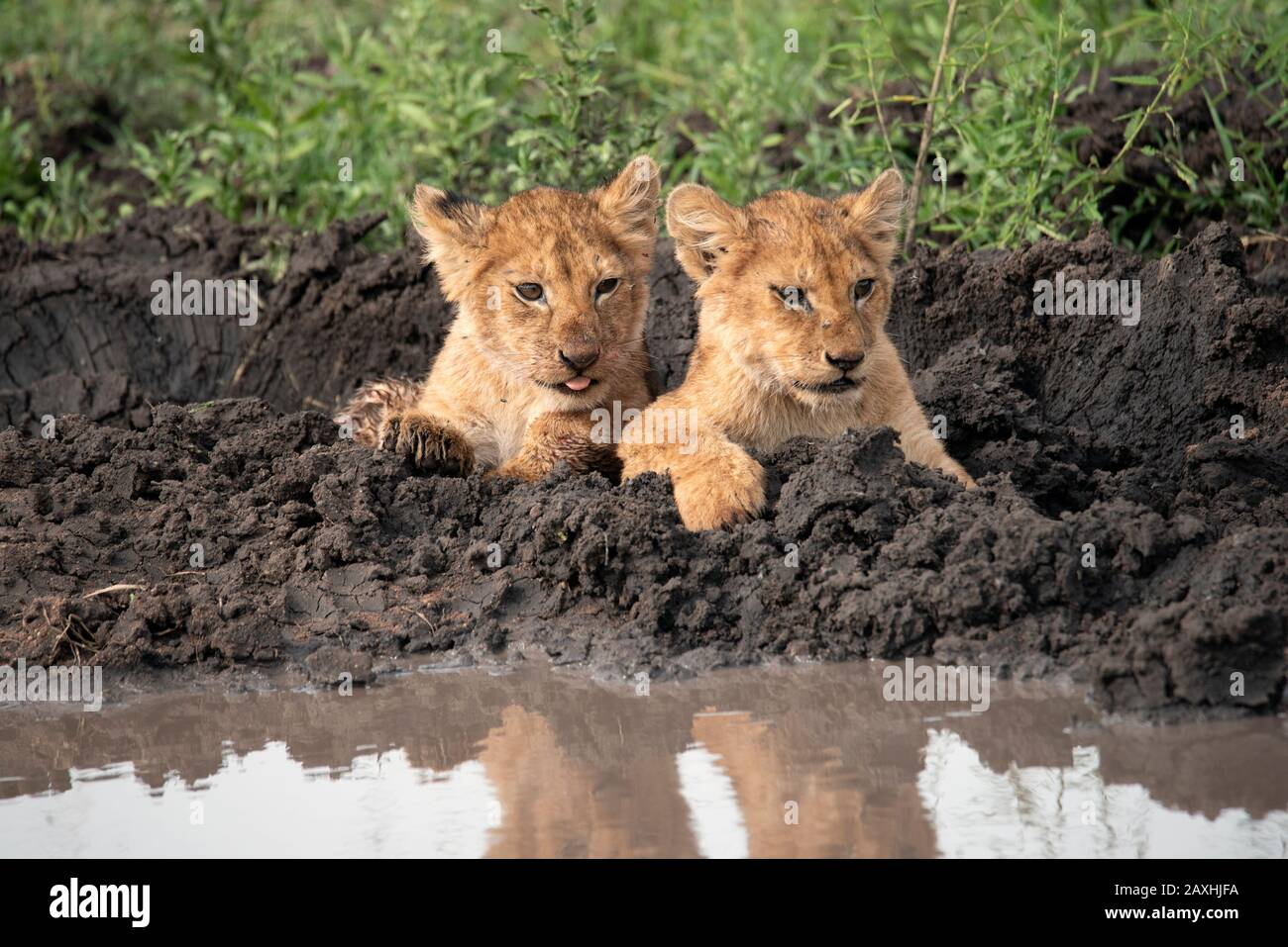 Two very cute and cheeky Lion cubs Stock Photo