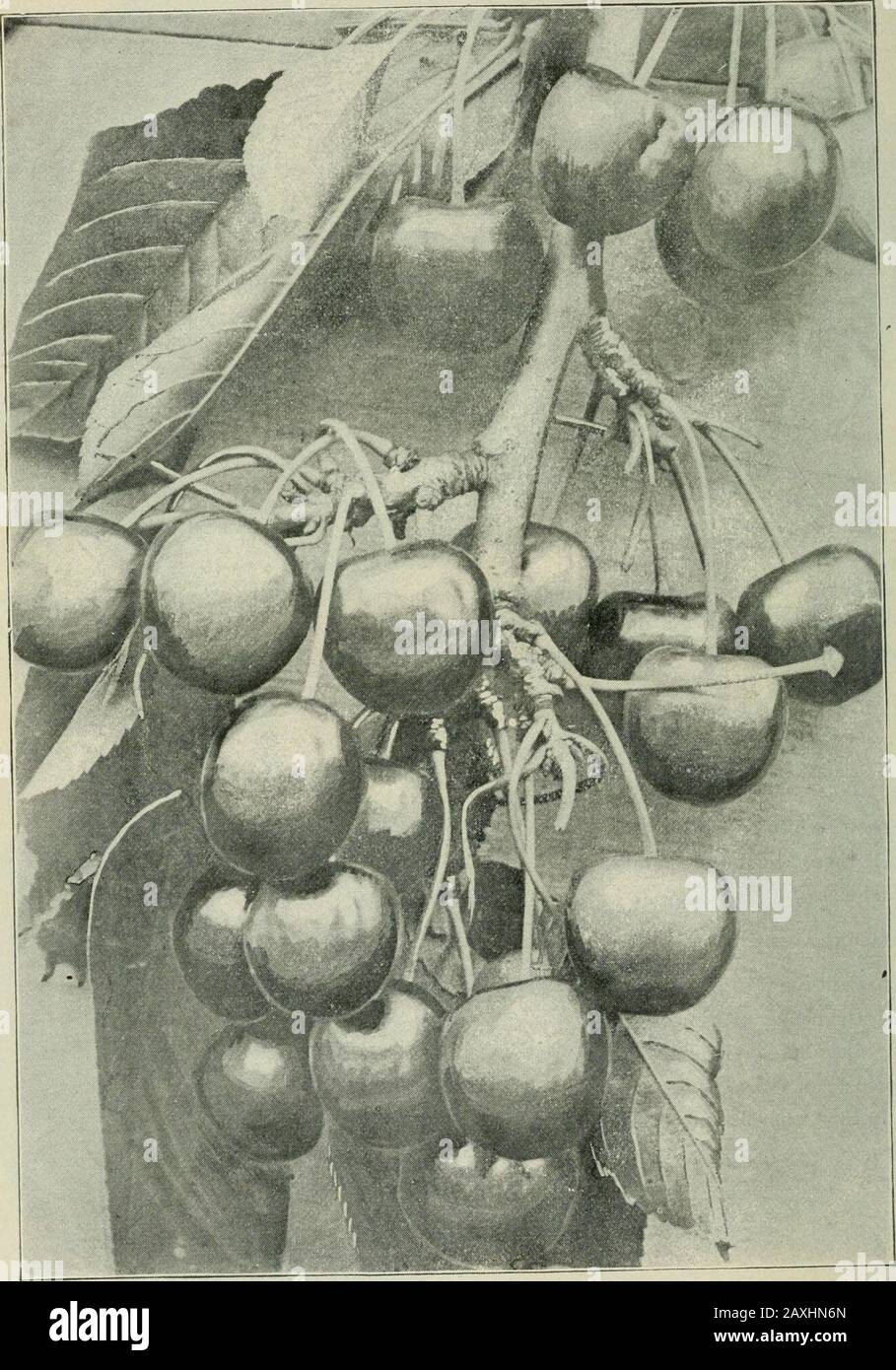 Ontario Sessional Papers, 1898-99, No.18-25 . Yellow Transparent. (Section ) 27 CHERRIES.. Yellow.; Spamsh—Fruiting Branch in 1896.[28] CHERRIES. Classification. In describing the cherries the following general classification is followed, though for con-venience the varieties are arranged in alphabetical order. In some cases it is impossible toplace a variety because of the crossing of one variety with another, which renders the classifica-tion almost useless. I. Prunus Cerasus (Sour Cherry Class). (a) Kentish—Pale red with uncolored juice. (b) Morellos—Dark red lruits, with dark colored juice Stock Photo