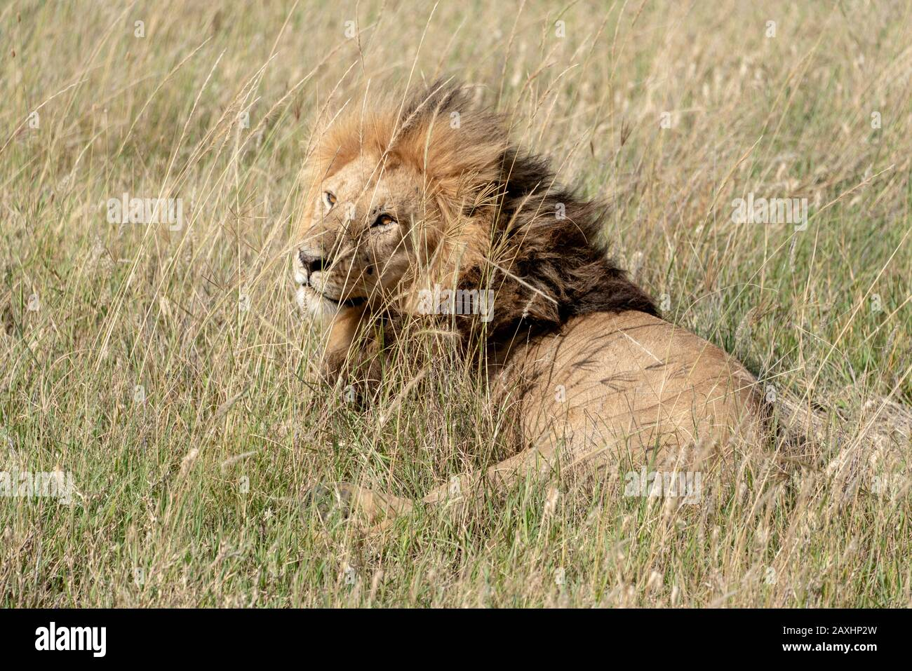 Handsome male Lion resting on the grasslands of the Serengeti National Park Stock Photo