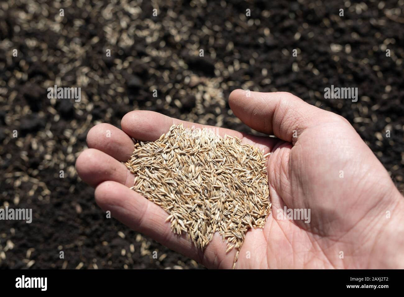 Person With Hand Full Of Grass Seed Sowing On To Field Spring
