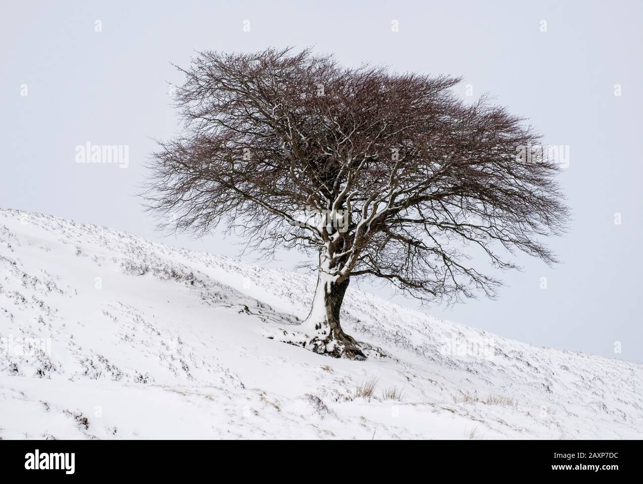 A lone tree on a hillside after a fall of snow, Leadhills, South Lanarkshire. Stock Photo