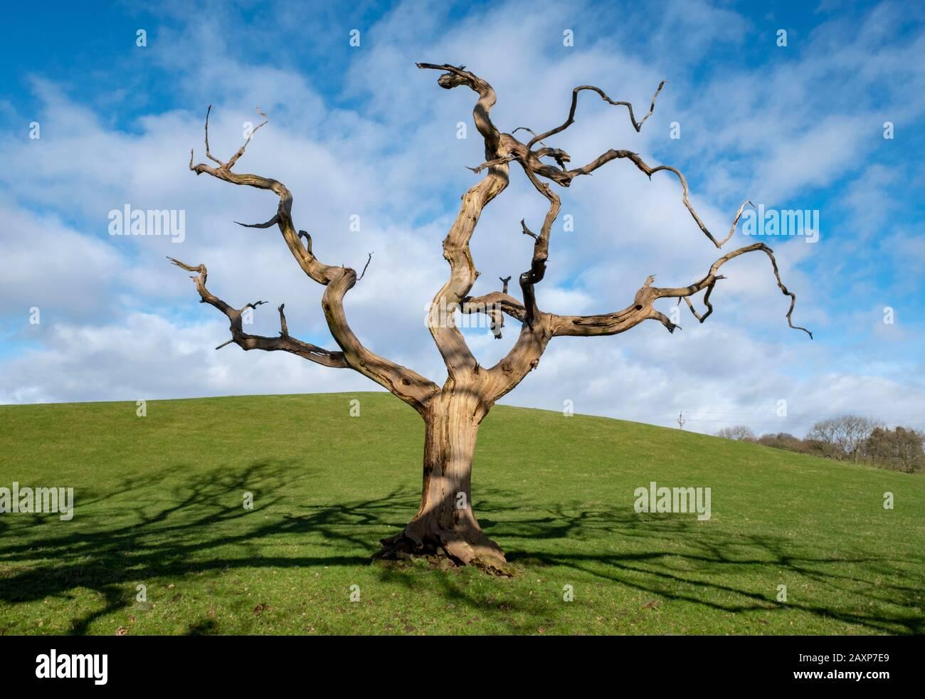 A lone dead tree in a field near Dumfries, Dumfries & Galloway, Scotland. Stock Photo