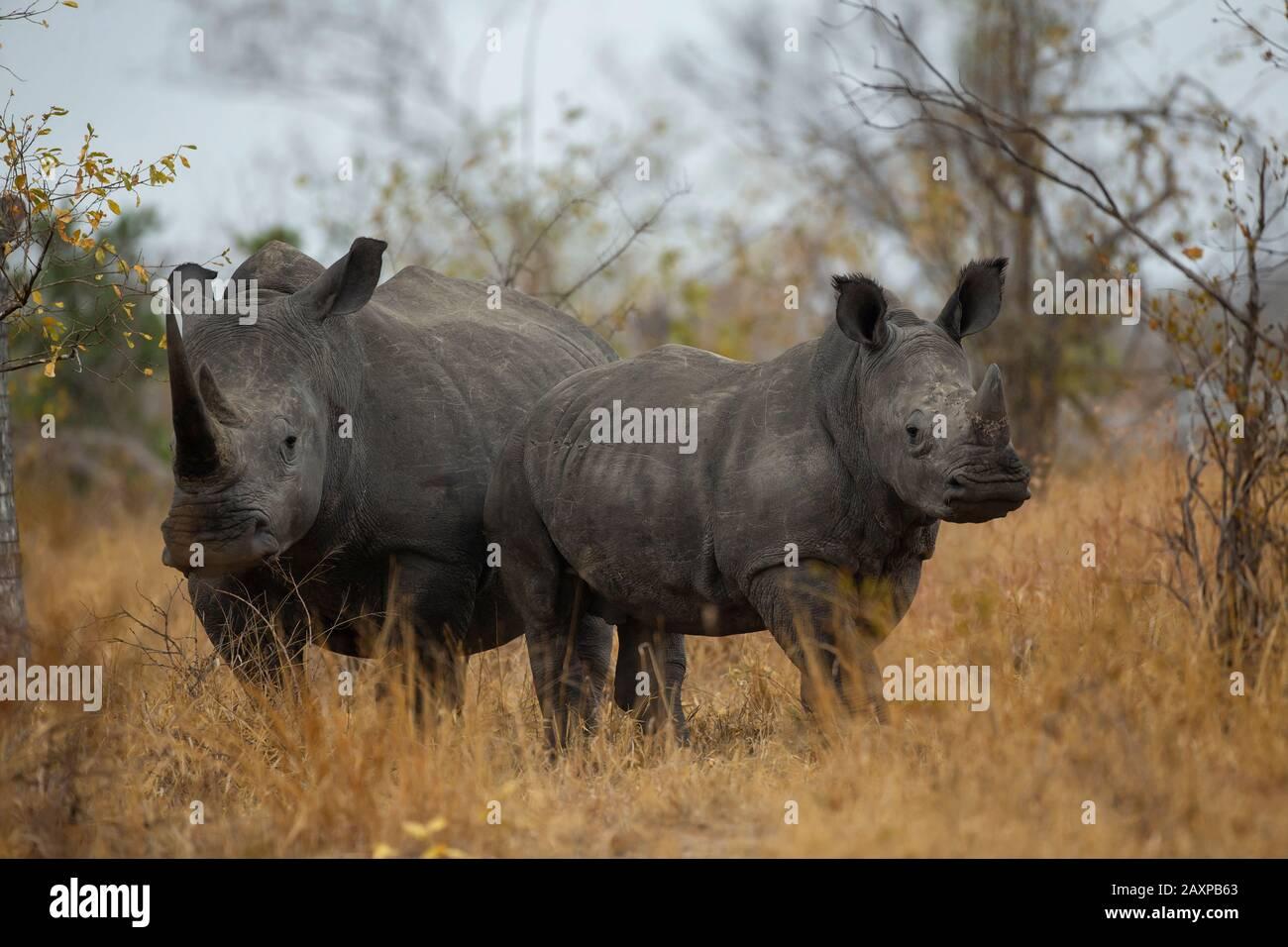 The southern white rhinoceros or southern square-lipped rhinoceros (Ceratotherium simum simum) Stock Photo