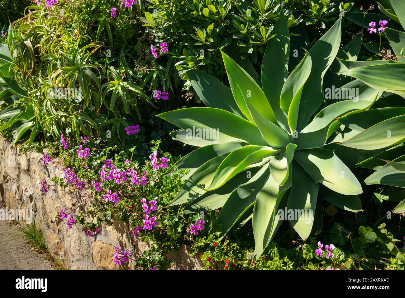 California Garden With Agave Succulent And Flowering Native