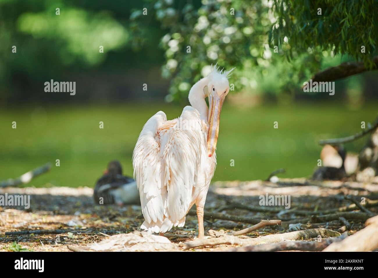 Dalmatian Pelican, Pelecanus crispus, cleaning, from behind Stock Photo