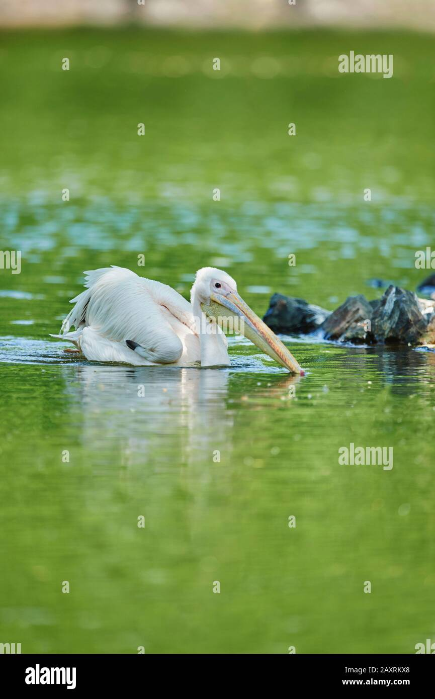 Dalmatian Pelican, Pelecanus crispus, head-on, swimming Stock Photo