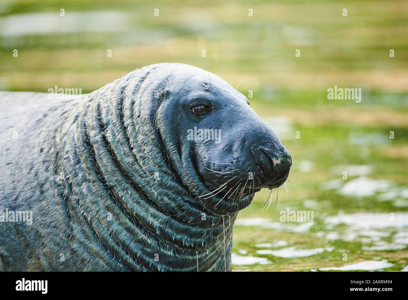 Common seal, Phoca vitulina, water, portrait, sideways Stock Photo