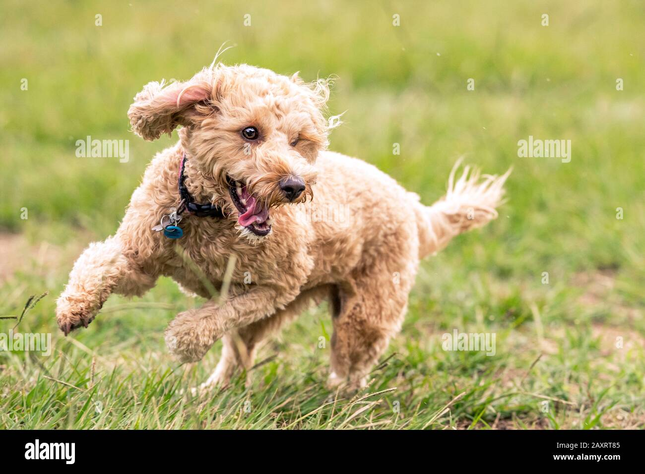 A Spoodle dog chases a ball in an Australian park Stock Photo