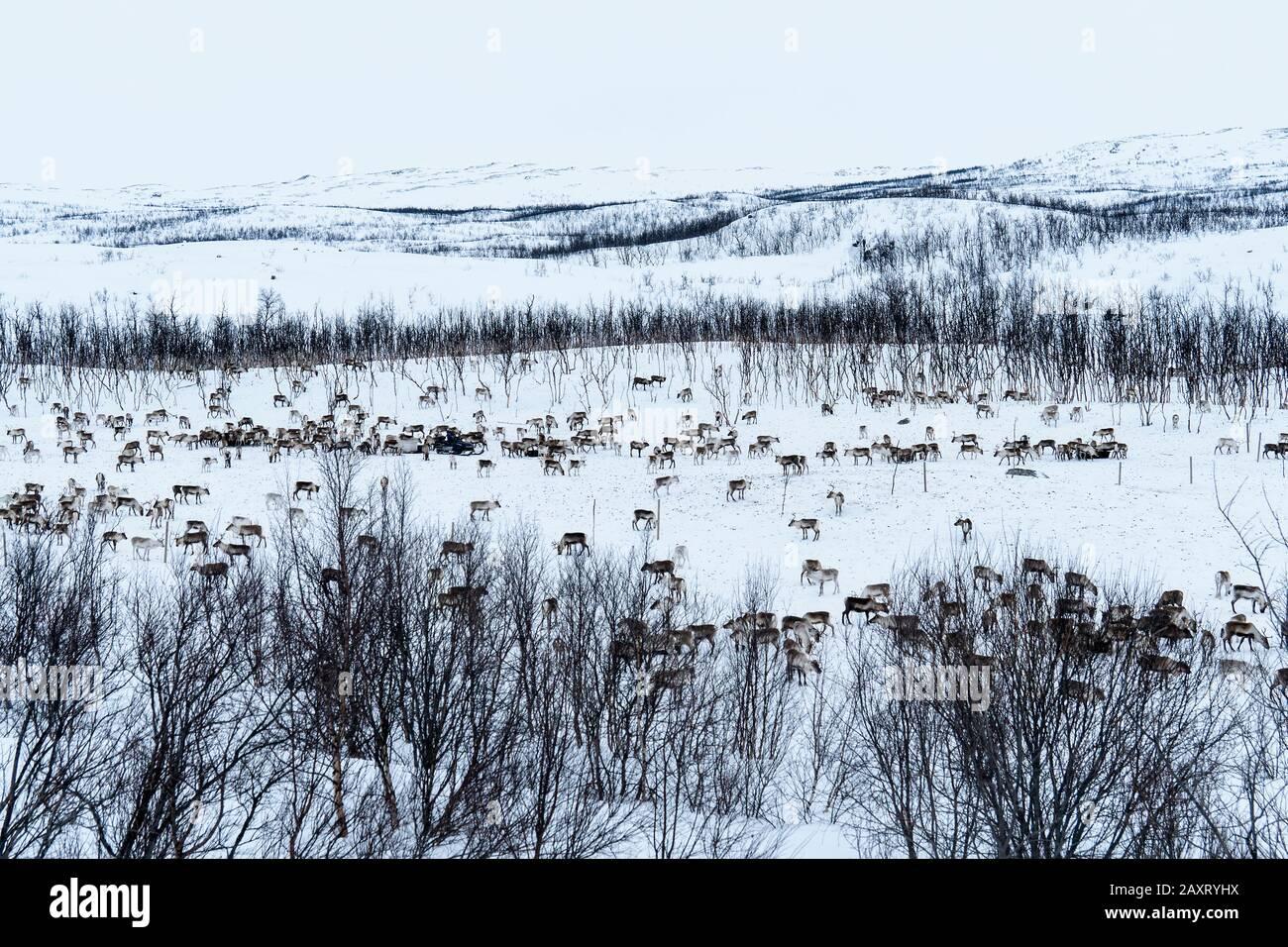 Lapland, snowy landscape, reindeer herding Stock Photo