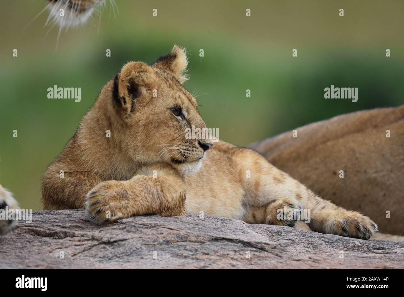 Cute Lion cub resting on rocks.Masai Mara National Park, Kenya. Stock Photo
