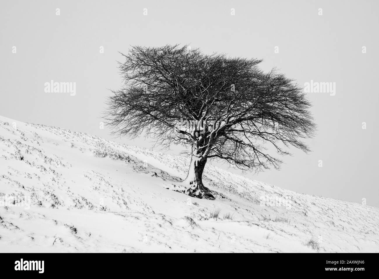 A lone tree on a hillside after a fall of snow, Leadhills, South Lanarkshire, Scotland. Stock Photo