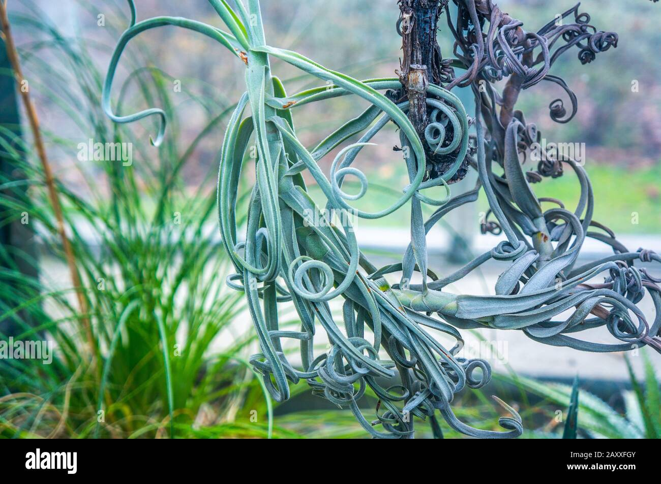 Curly Mint Green Tillandsia Duratii Rainforest Plant Hanging In