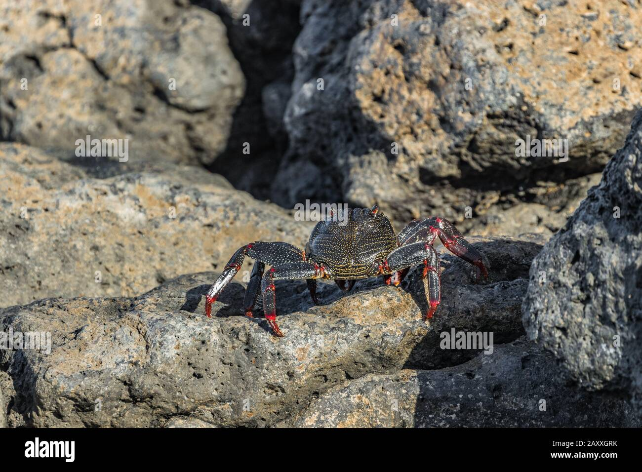 Red rock crab - Grapsus adscensionis - crawling on dark lava stones to bask in the sun. Southern ocean shore of Tenerife, Canary Islands, Spain. Stock Photo