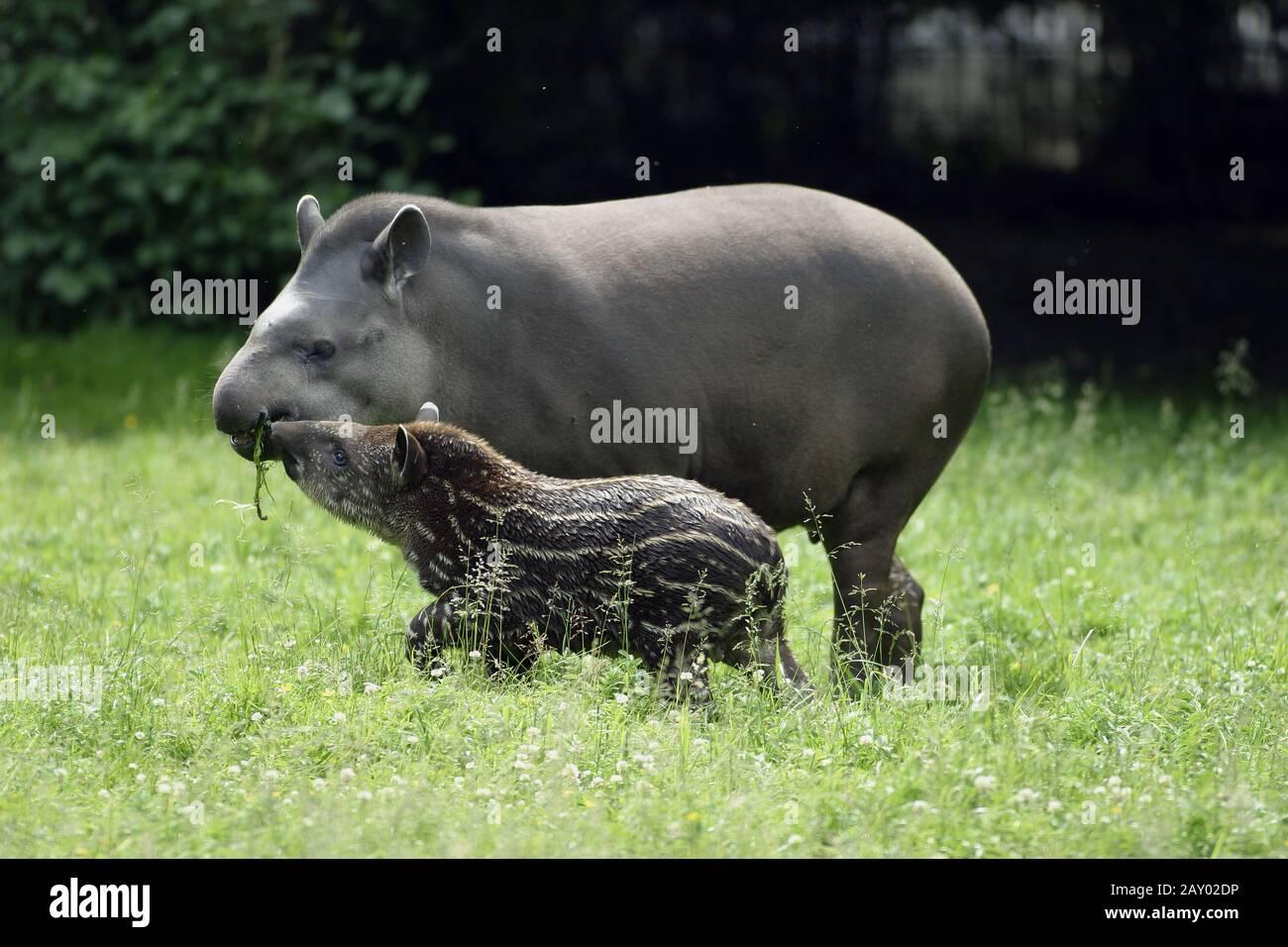 Flachlandtapir, Tapir, Tapirus terrestris, southamerican tapir Stock Photo
