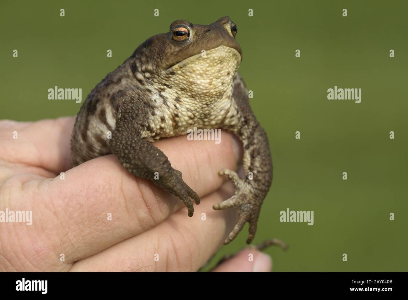 Erdkroete, in der Hand haltend, Bufo bufo, European Common Toad, in hand Stock Photo