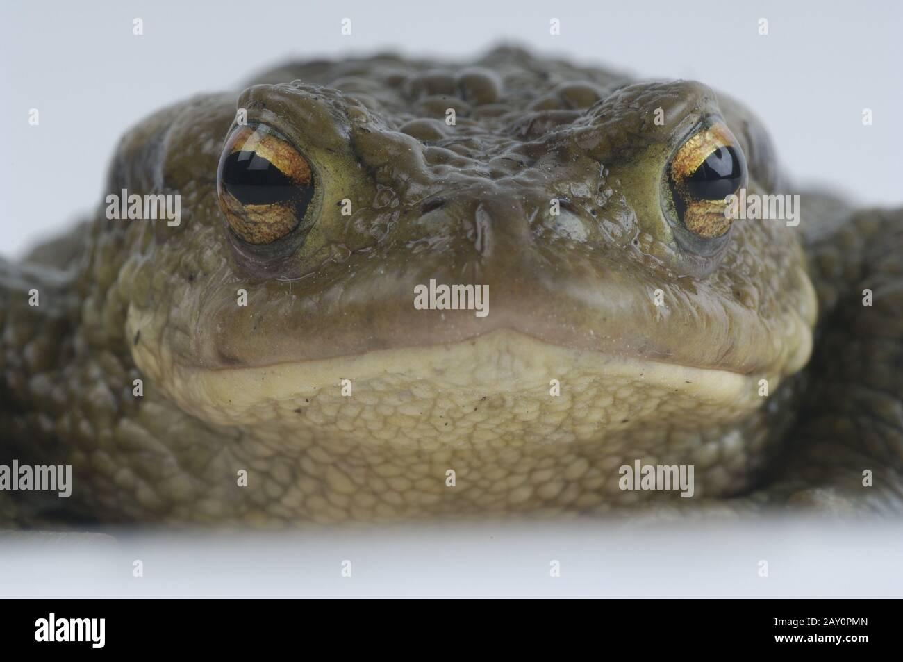Erdkroete,  Dedtail, Bufo bufo,  Common Toad, Studio Stock Photo