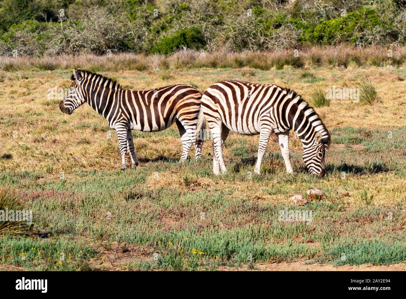 Close up of a pair of Burchells Zebra grazing in South Africas Eastern Cape region Stock Photo
