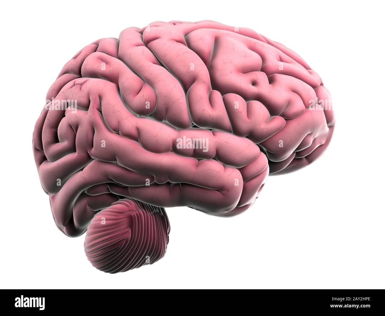 3d rendered illustration of the human brain anatomy Stock Photo