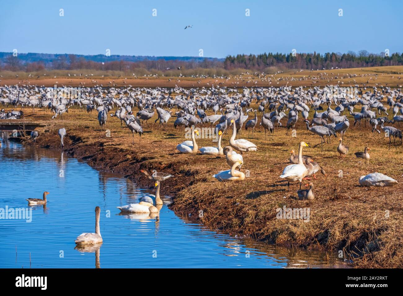 View at a landscape with lot of Cranes and Swans in the spring Stock Photo