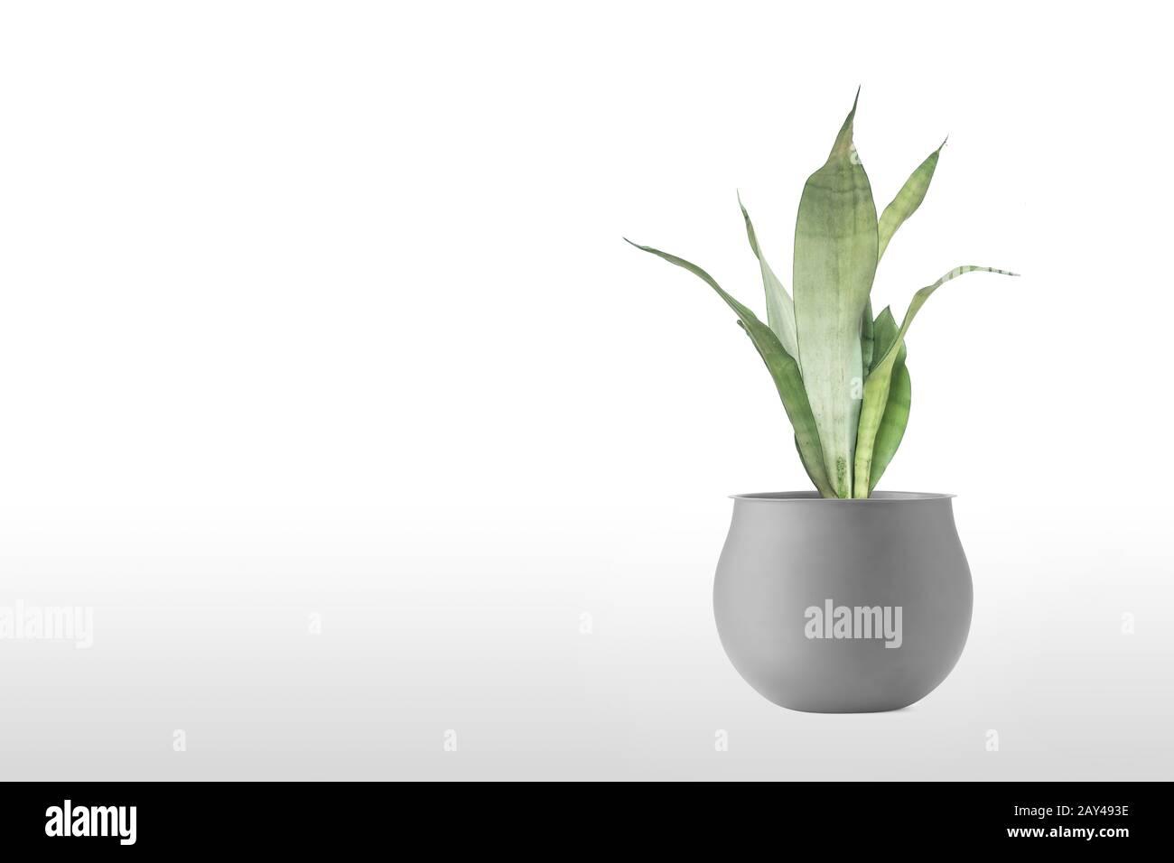 Beautiful sansevieria plant in pot on white table Stock Photo