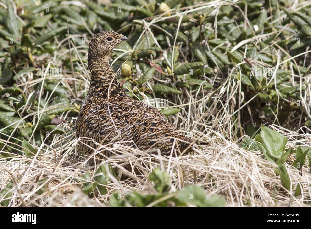 Rock Ptarmigan female standing in the midst of wild rosemary summer day Stock Photo