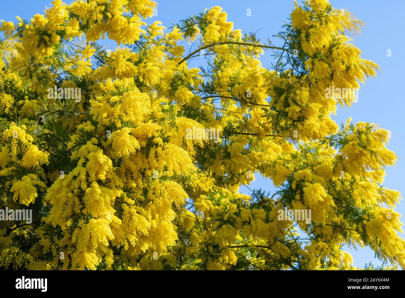20 semi di ACACIA SALIGNA  Mimosa marina Orange Wattle Blue-Leafed Wattle