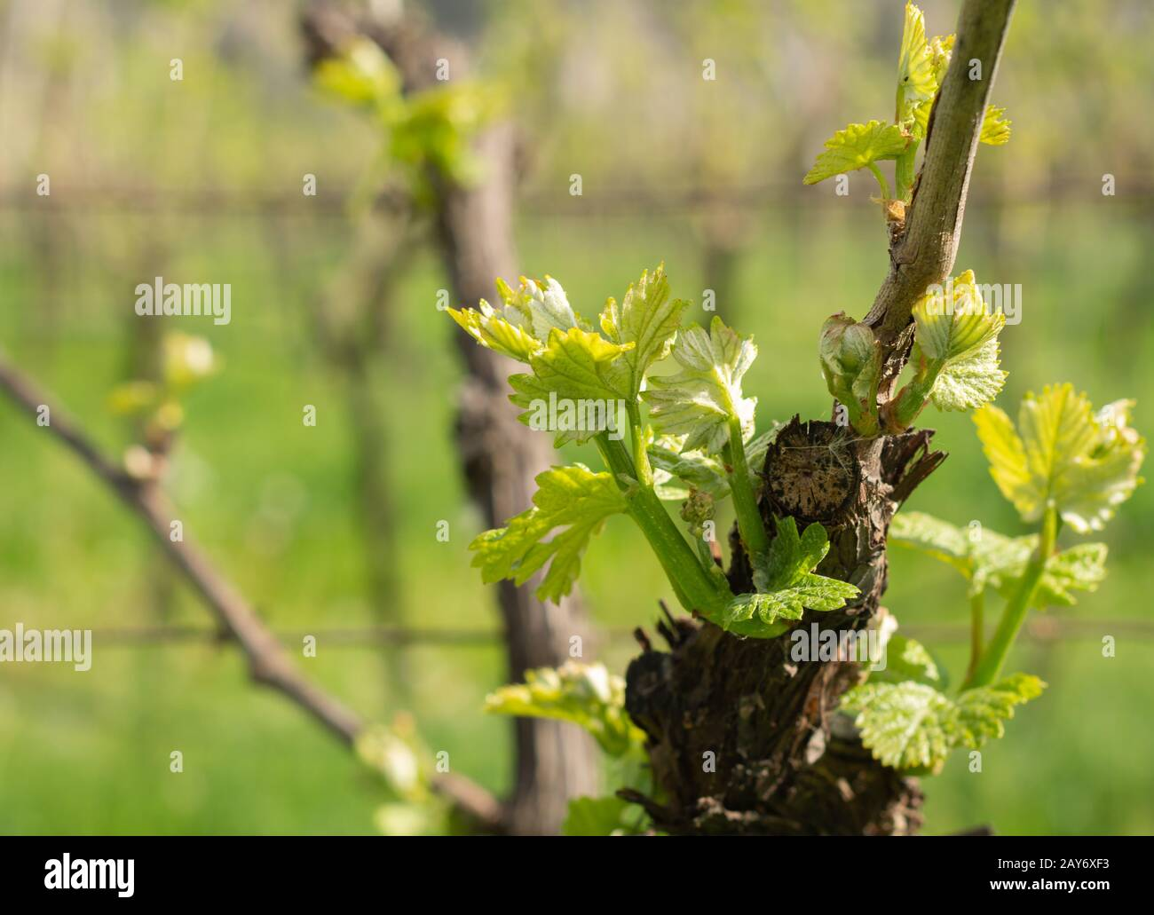 The vineyard in spring: vine shoots growing in spring. Artistic blurred effect. Springtime. Stock Photo