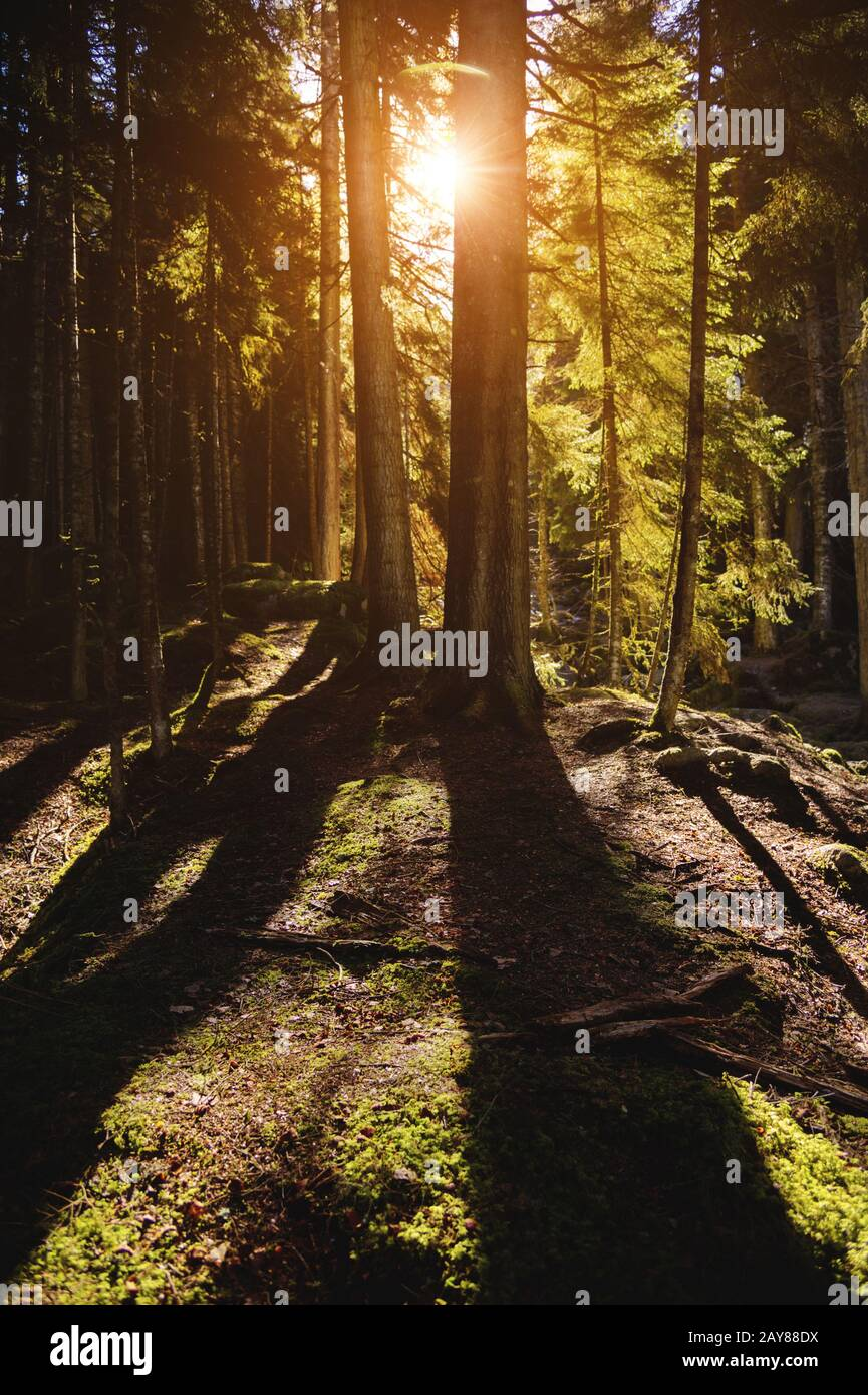 Forest landscape rays of the setting sun through the trunks and crowns of huge trees. Pine forest. Contrasts in the rhythm of li Stock Photo