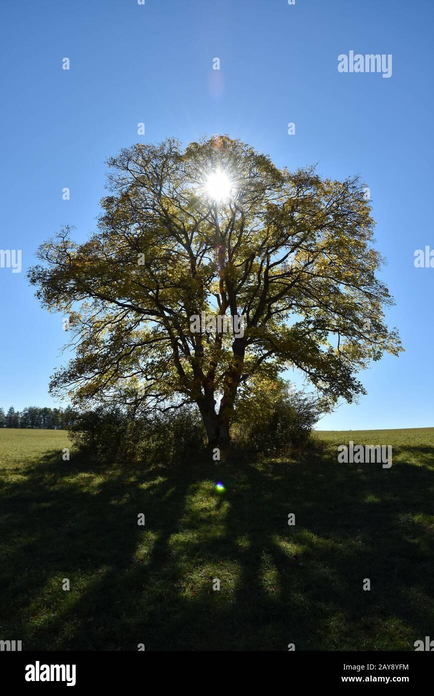sycamore maple, Celtic maple, plane maple, scottish maple, maple, false plane-tree, mock Stock Photo