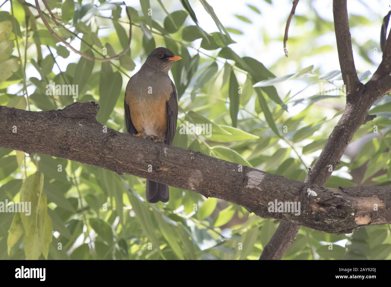 Olive thrush that sits on a tree branch in the shade of leaves on a hot African day Stock Photo