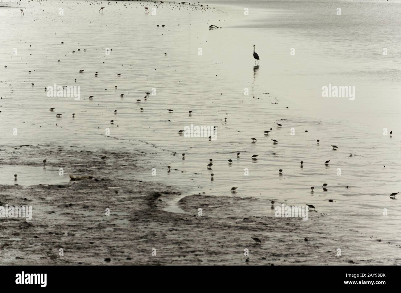 Sea birds in the sand on the beach at sunset, San Clemente del Tuyu, Buenos Aires, Argentina Stock Photo
