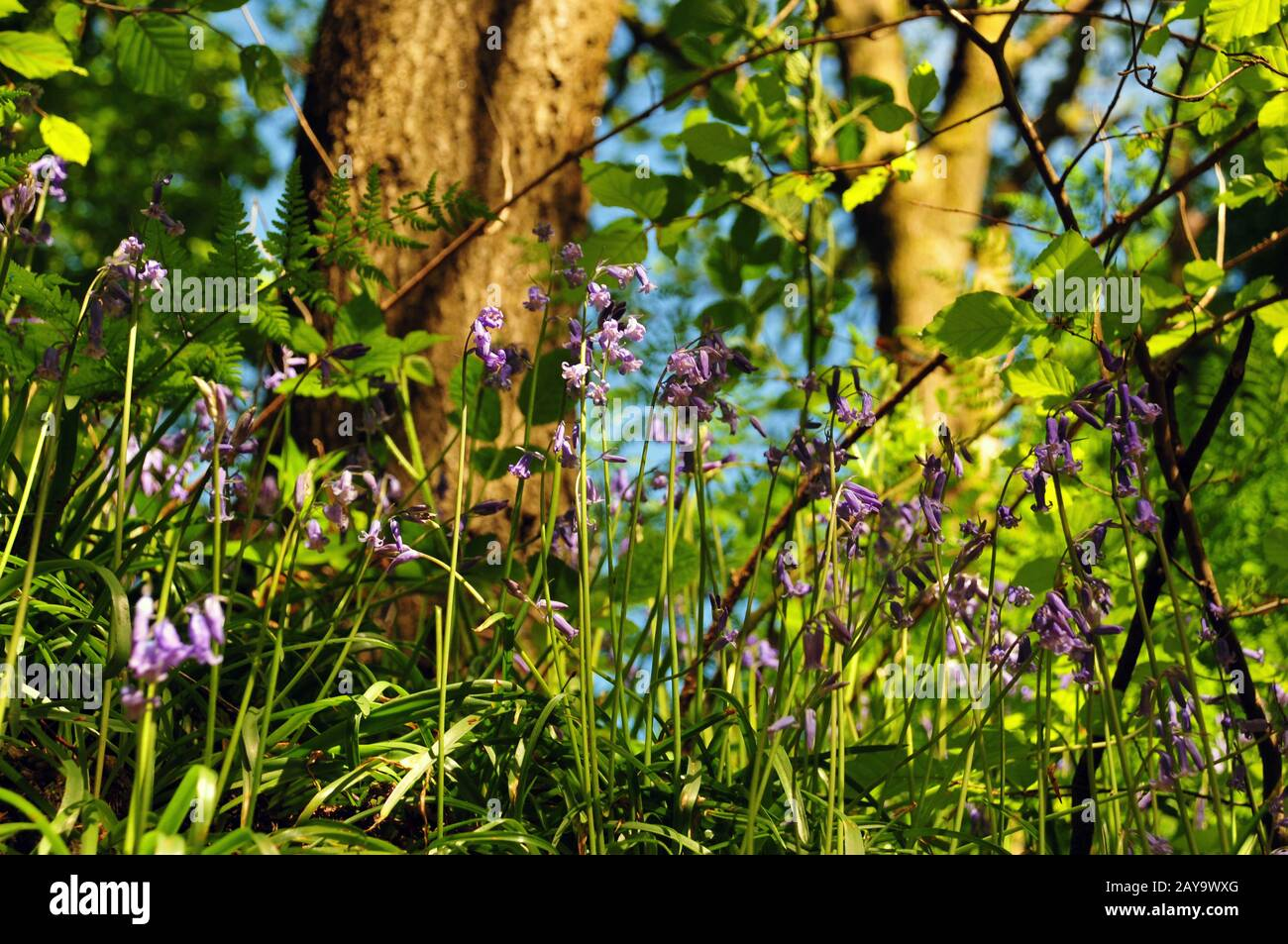 Close up view of woodland floor with ferns and wild english bluebells in springtime sunlight Stock Photo