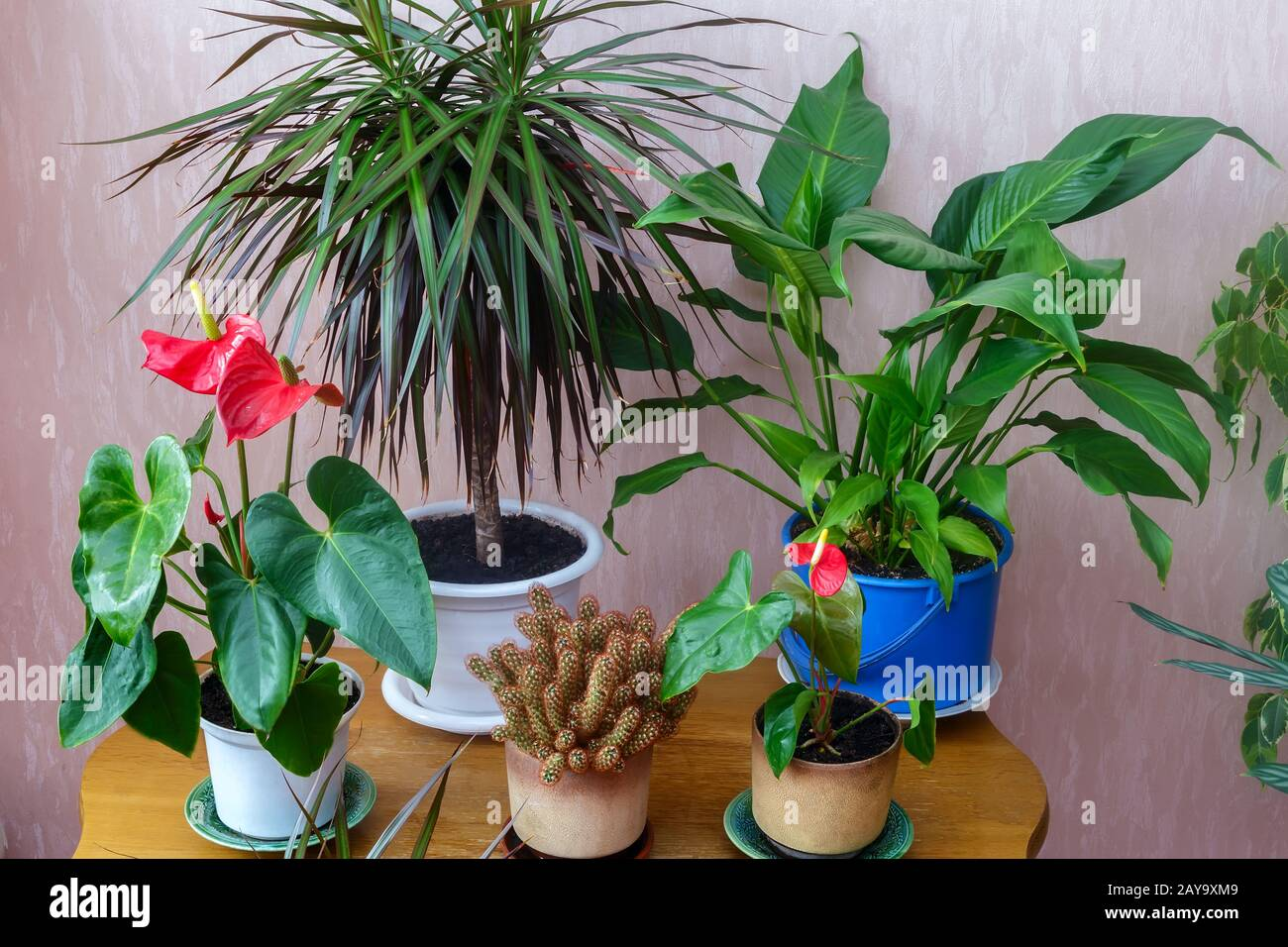 A variety of potted plants in the house. Stock Photo