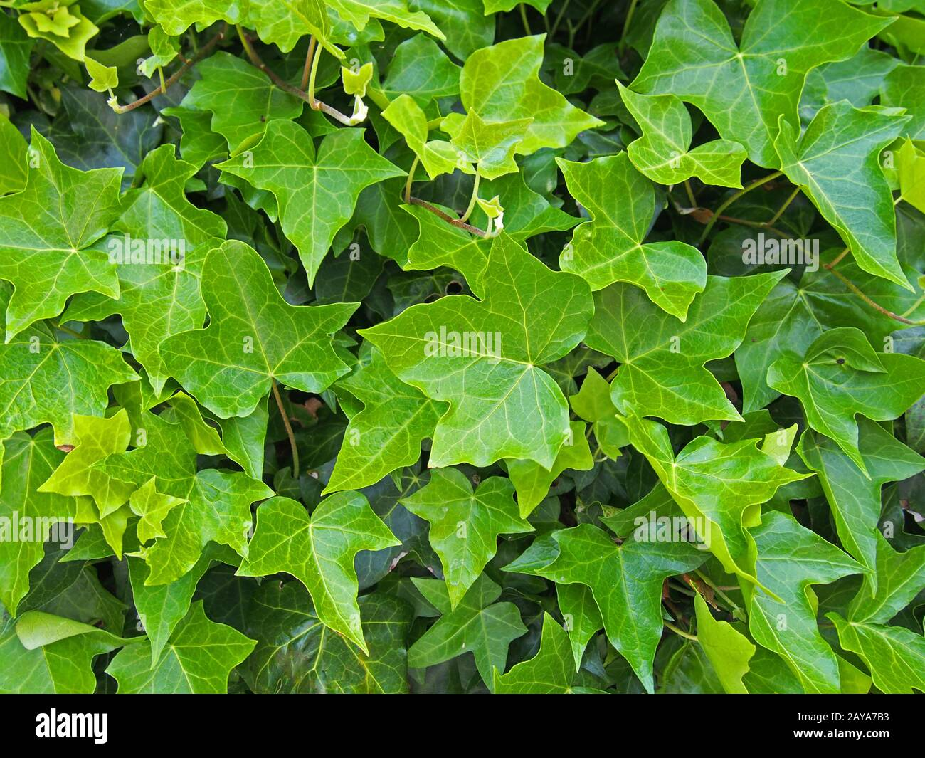 dense growth of bright green ivy in close up background image Stock Photo