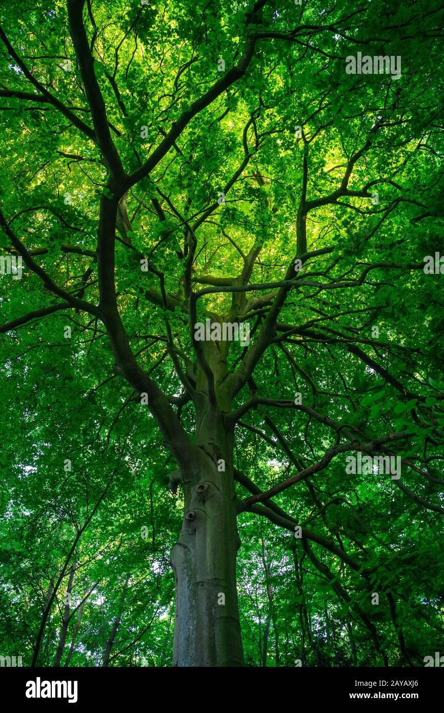 Blick in das Blätterdach eines begrünten Laubbaums Stock Photo