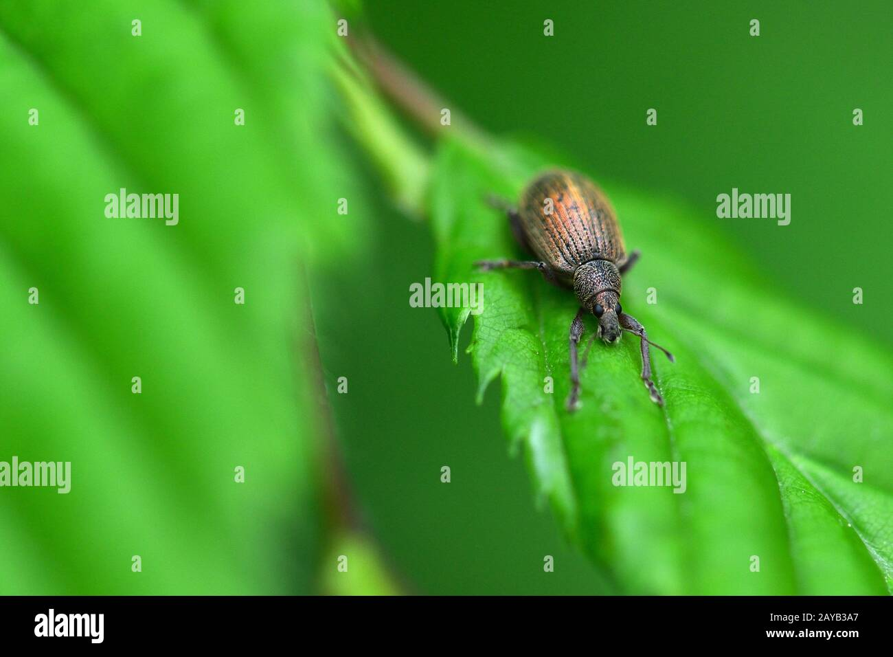 bicoloured narrow-bellied weevil Stock Photo