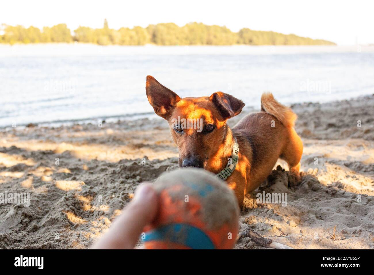 Small mixed breed dog playing at the river beach in the sand with his toys. Dog, summer lifestyle an Stock Photo