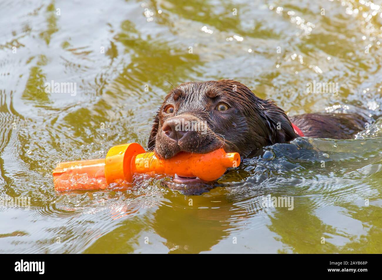 Labrador dog with rubber toy swimming in water Stock Photo