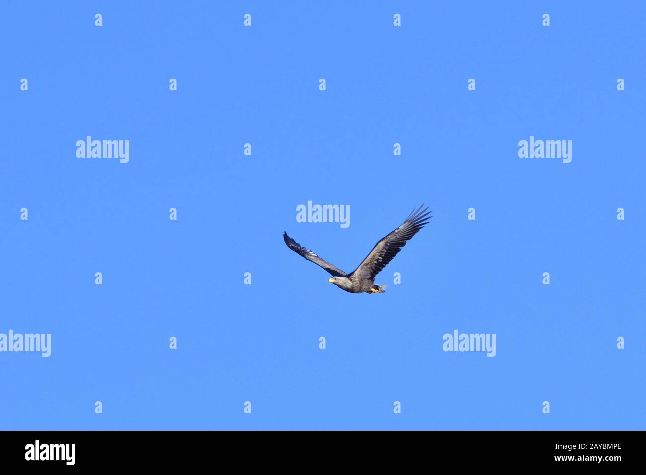 Seeadler Stock Photo