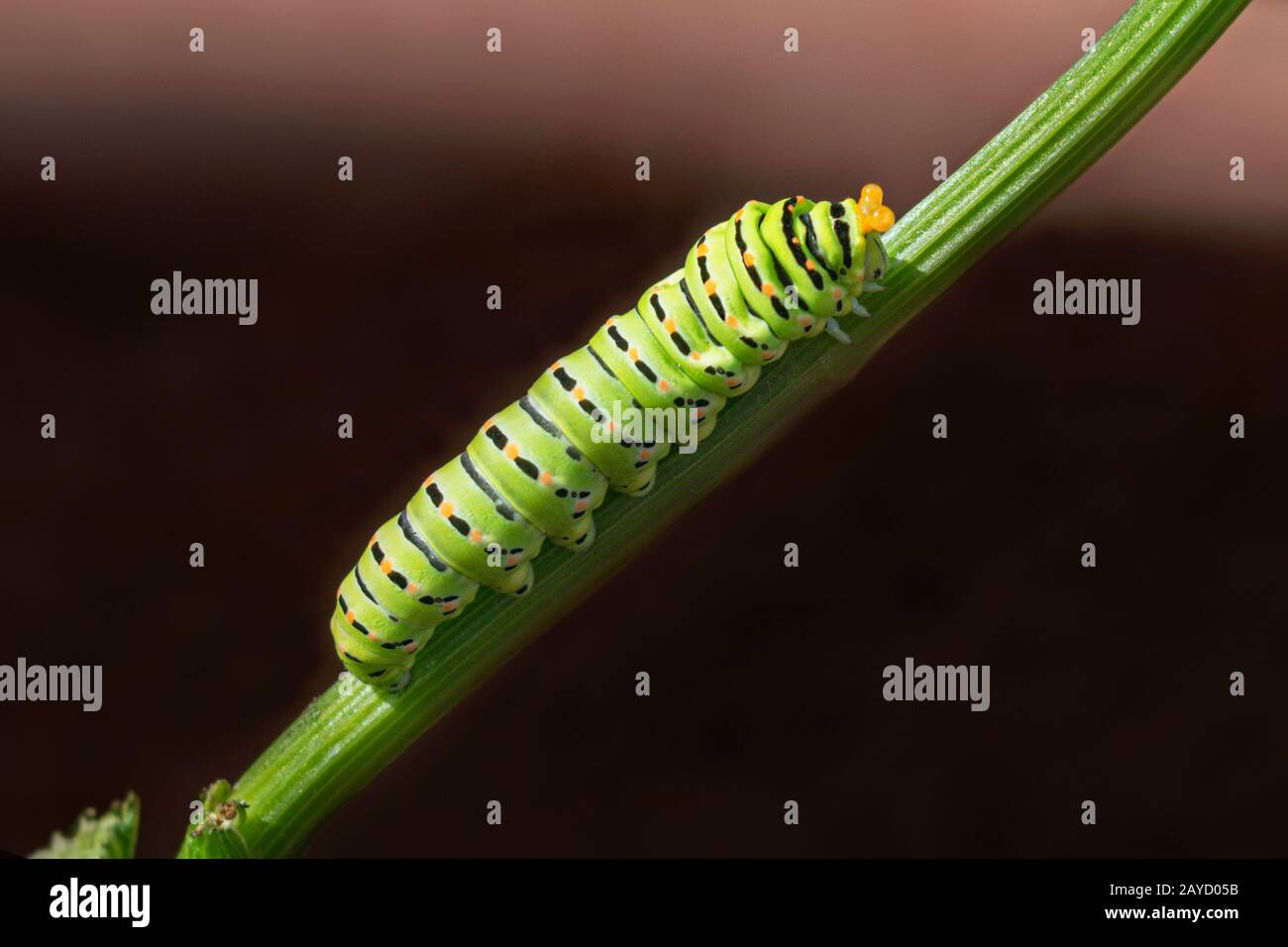 Old World swallowtail butterfly caterpillar exhibiting its retractable horn-like defense organs osmeteria on a celery stalk with a dark clay red backg Stock Photo
